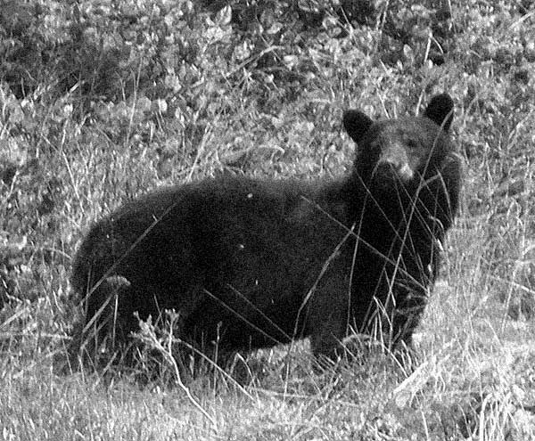 johnstone strait sea kayaking trip - black bear